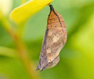 Can a butterfly defend itself in the chrysalis? | Discover ...