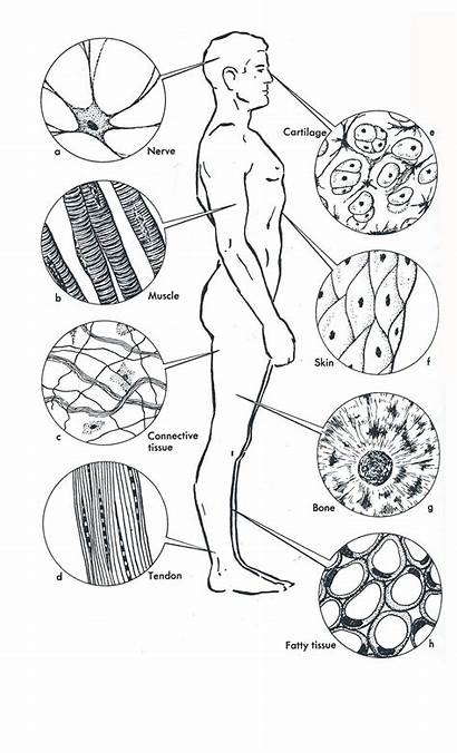 Anatomy Human Coloring Tissues Worksheet Cells Tissue