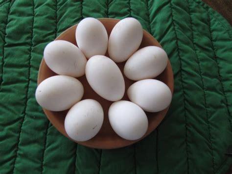 andalusian eggs lakenvelder buff orpington breeds orps welsummer rocks