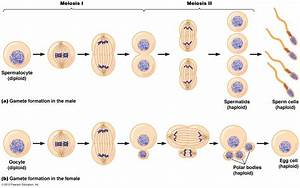 Meiosis 1 And 2 Diagram  Meiosis  Free Engine Image For User Manual Download