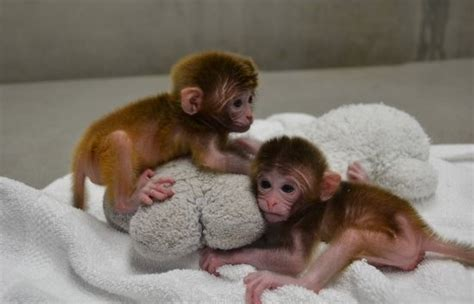 chimeric rhesus monkeys   born  theyre super