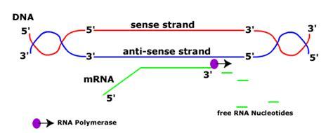 coding strand vs template strand sense and antisense dna mismatch