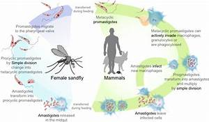 Leishmaniasis Life Cycle Diagram En Clip Art At Clker Com
