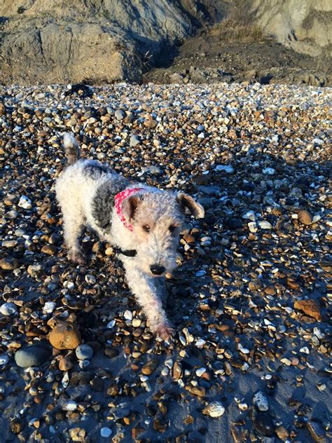 viking wire fox terrier terrier sos  uk based dog rescue
