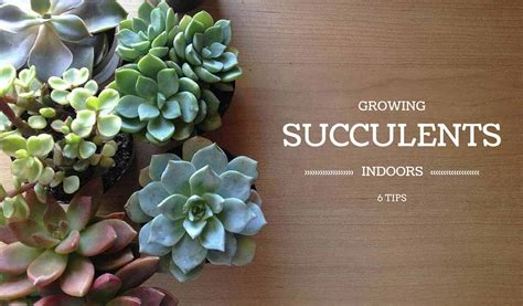 how to plant succulents indoors 6 tips for growing succulents indoors farm and dairy
