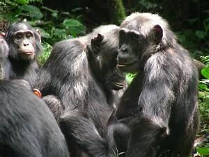 Chimpanzees   The Ngogo Chimpanzee Project