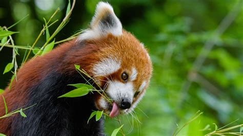 Macam-Macam Panda Wallpaper Hd