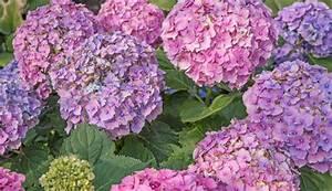 Hortensien Schneiden Video : hortensien schneiden das sollten hobbyg rtner beachten ~ Lizthompson.info Haus und Dekorationen