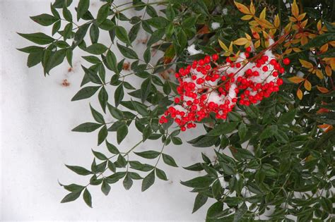 shrub with berries in winter shrubs audrey s plantmania