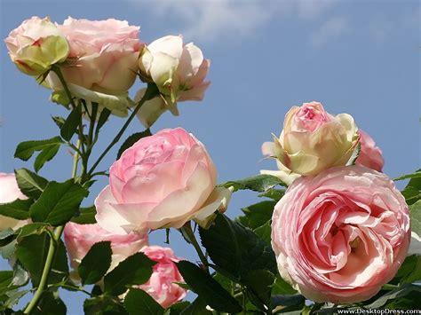 light pink roses wallpaper wallpapersafari