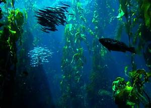 Channel Islands Scuba Diving  California  U2013 Or  U2013 Giant Kelp Forests  U0026 A Cheeky Seal
