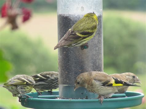 goldfinch food preference feeding garden visitors