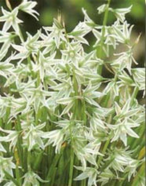 ornithagalum nutans of bethlehem misc flower bulbs