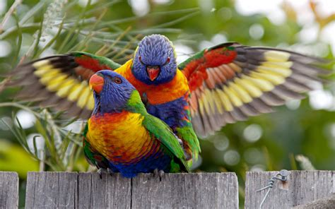 rainbow lorikeets walpaper hd wallpaperscom