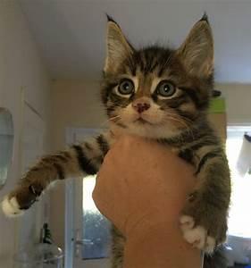 Brown tabby Maine coon cross kitten | Dorking, Surrey ...