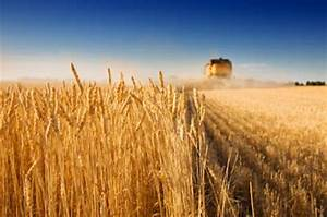 Climate change affecting wheat and corn yields