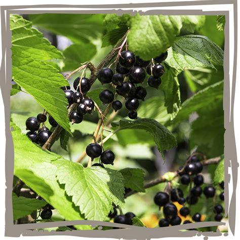schwarze johannisbeere krankheiten schwarze johannisbeere vitaminhaps landgef 252 hl