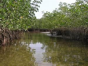 Contoh Ekosistem Rawa Bakau