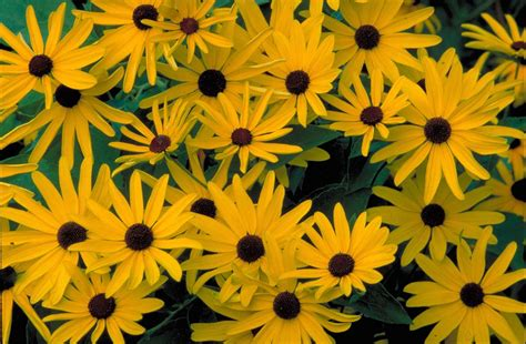 black eyed susan black eyed susan maples n more nursery