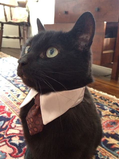 fancy cats  proper  tiny tie baby animal zoo