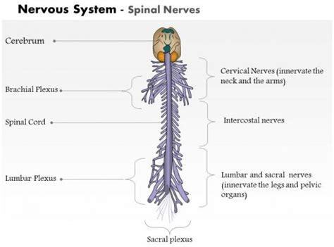 spinal nerves nervous system medical images