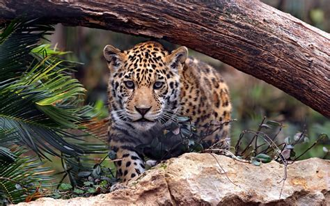 Jaguar Jungle Wallpaper  2560x1600  125422 Wallpaperup