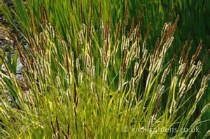 Carex elata Aurea - Knoll Gardens - Ornamental Grasses and Flowering ... Echinacea