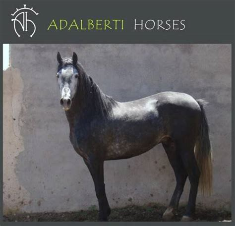 adpost andalusian horse adoption classifieds madrid pays buyer pets
