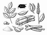 Licorice Root Drawing Illustrations Pile Clip Leaves Bunch Plant Roots Branch Plants sketch template