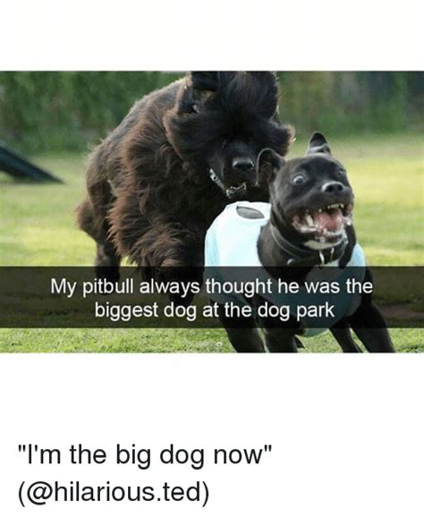 Funny Pitbull Memes - my pitbull always thought he was the biggest dog at the dog park i m the big dog now funny
