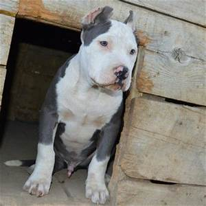 View source image | Blue/Blue nose pits | Pinterest | Red ...