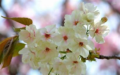 Spring Blossoms Wallpapers Flowers