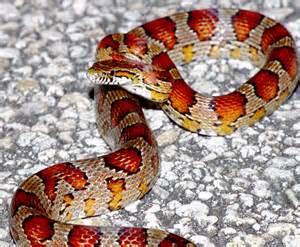 South Florida Corn Snake