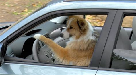 coolest dogs    drive