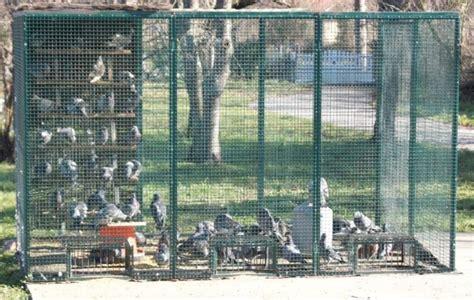 artigat les pigeons pris au pi 232 ge 19 03 2011 ladepeche fr