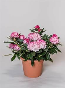 Kleinwüchsige Immergrüne Hecke : rhododendron arabella rhododendron yakushimanum arabella ~ Lizthompson.info Haus und Dekorationen
