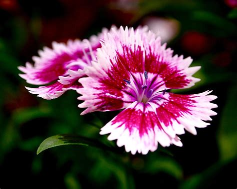 Dianthus Photograph By Rona Black Theater Curtains Png Ble Smoke And Fire Jobs Installing In Bay Window Pink Black Bathroom Beaded Uk How To Get Rid Of Plastic Smell Shower Curtain Hang Rods On Drywall Door Pole Portiere