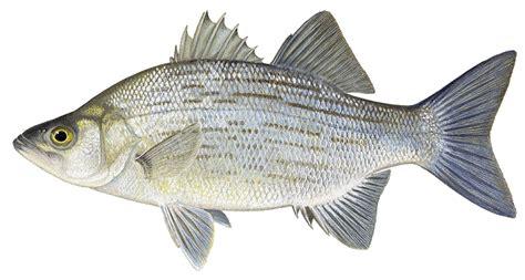 details white bass