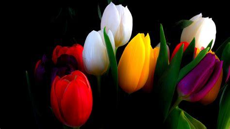 beautiful tulips wallpapers  volganga