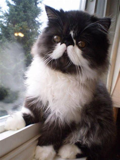 chat persan noir le chat persan en 67 photos qui vous feront aimer cette race de chats archzine fr