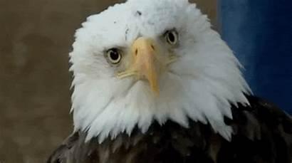 Bald Eagle Poisoning Eagles Lead Inside Struggle