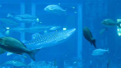 whale shark  worlds biggest fish tank  atlantis hotel