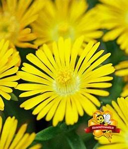 Winterharte Blumen Für Den Garten : winterharte eisblume gelbe peridot von baldur garten auf kaufen ~ Whattoseeinmadrid.com Haus und Dekorationen