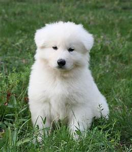 Bébé Loup Blanc : chiot elevage de la l gende du loup noir eleveur de ~ Farleysfitness.com Idées de Décoration