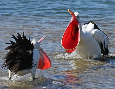 beautiful glorious pelicans images  pinterest