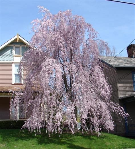 weeping cheery tree plantfiles pictures weeping cherry tree weeping higan cherry pendula prunus subhirtella by