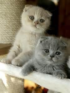 scottish fold cats scottish fold cat