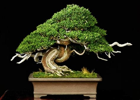 bonsai plant care  beginners
