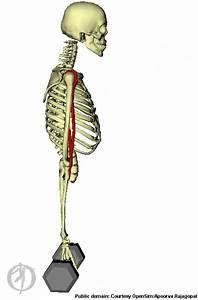 Motiongenesis  Biomechanics Of Curling  Biceps And Brachialis
