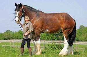 A Horse Of Course, And Rabbits Too: Shire horses